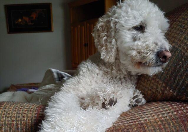 Kona, perro de la raza Goldendoodle
