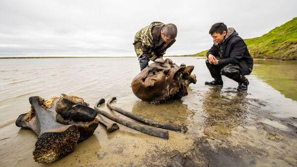 Mandriani di renne trovano fossili di mammut in un lago della Siberia occidentale - Sputnik Italia
