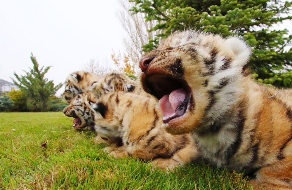 I cuccioli di tigre dell'Amur appena nati nel parco di safari di Taigan in Crimea, Russia