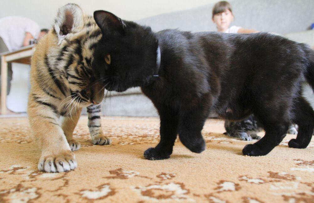 Un cucciolo di tigre dell'Amur gioca con un gatto