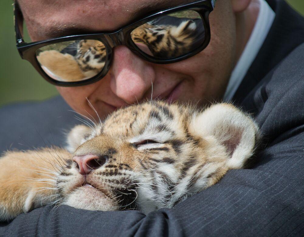 Un cucciolo di tigre con uno dei visitatori durante il tradizionale rilascio primaverile di animali dalle loro gabbie nel parco safari della Crimea Taigan
