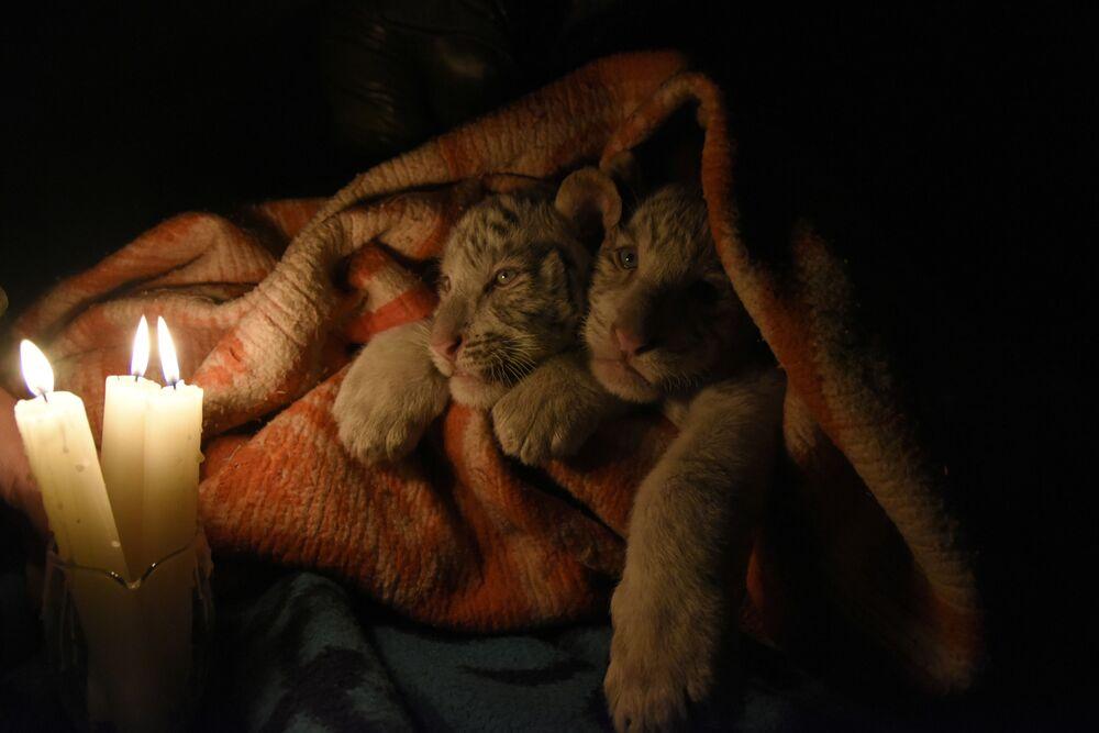 I cuccioli di tigre bianca del Bengala di sei settimane allo zoo di Yalta sul Mar Nero