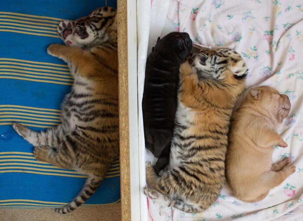 I cuccioli appena nati di tigre e di shar pei a Sochi, Russia