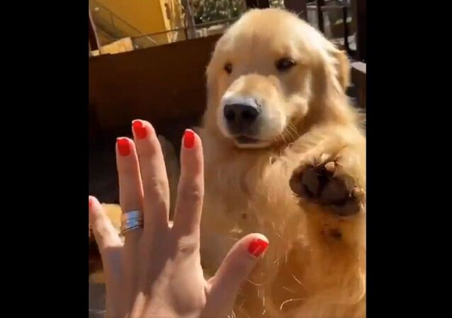 Dammi il 5! Golden Retiever impara un nuovo trucco - Video