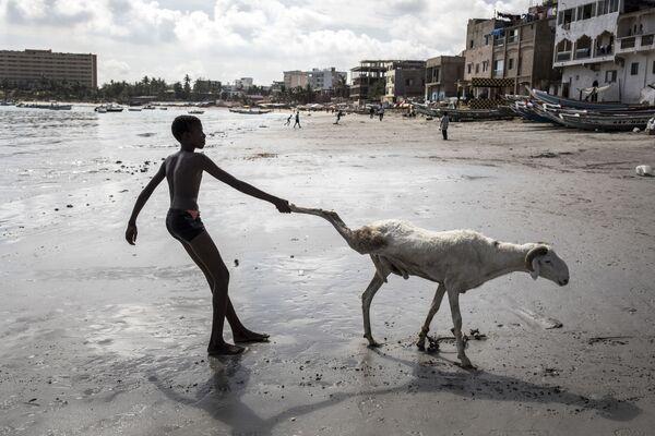 Un giovane allevatore di pecore trascina uno dei suoi animali verso il mare per pulirlo a Dakar, il 28 luglio 2020 - Sputnik Italia