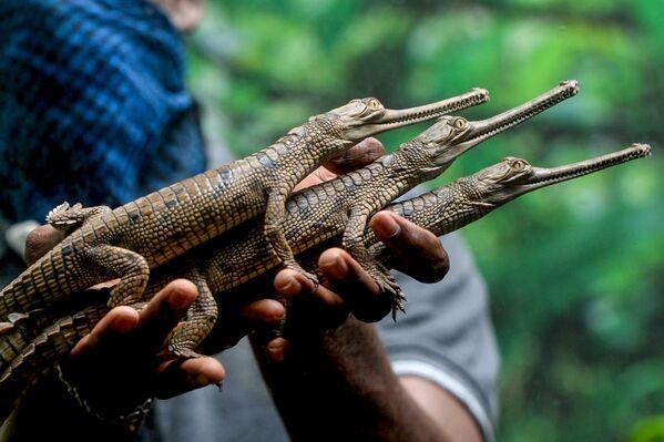 Un dipendente del parco dei serpenti di Chennai con i coccodrilli appena nati, il 24 luglio 2020 - Sputnik Italia