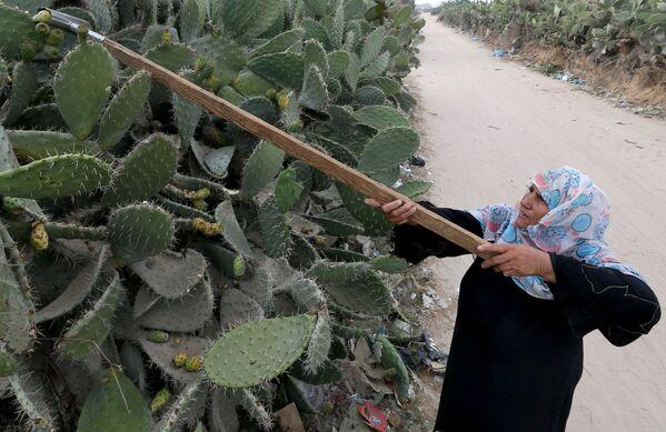 Una donna palestinese raccoglie fichi d'India nella striscia meridionale di Gaza il 29 luglio 2020 - Sputnik Italia