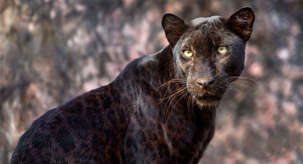 Leopardo nero estremamente raro