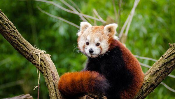 Un panda rojo, foto de archivo - Sputnik Italia
