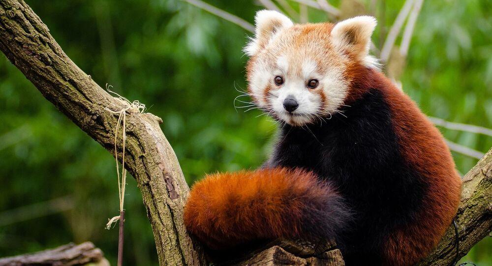 Panda rosso (foto d'archivio)
