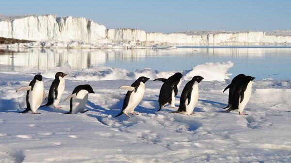 Pinguini (immagine di riferimento) - Sputnik Italia