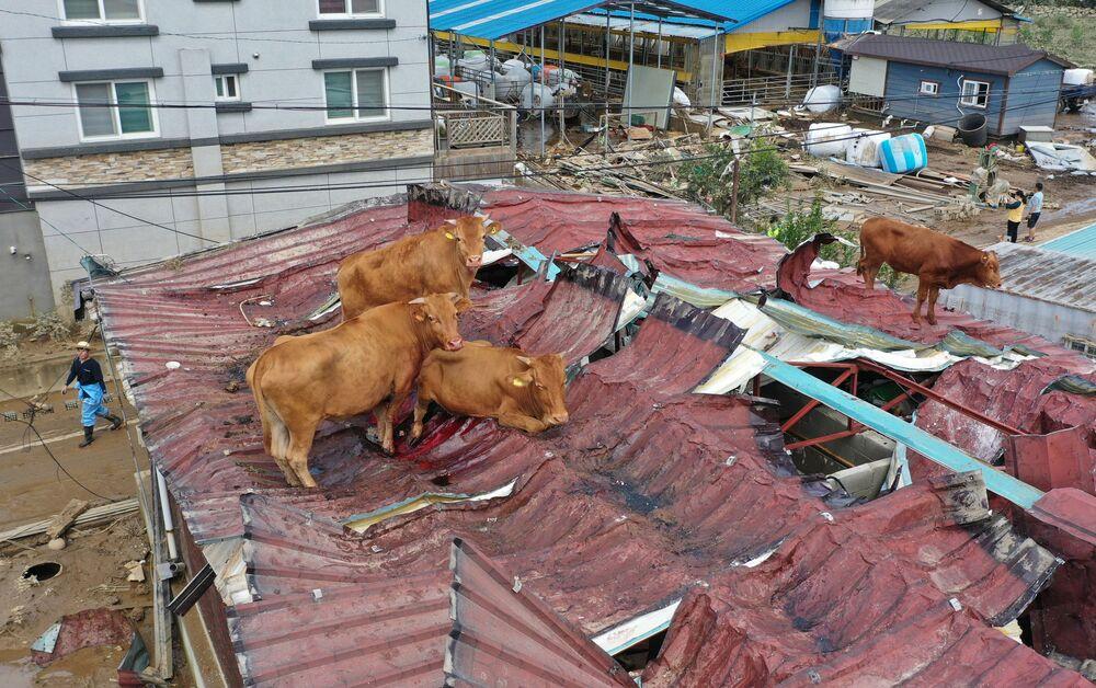 Delle mucche bloccate su un tetto per l'alluvione in Corea del Sud.