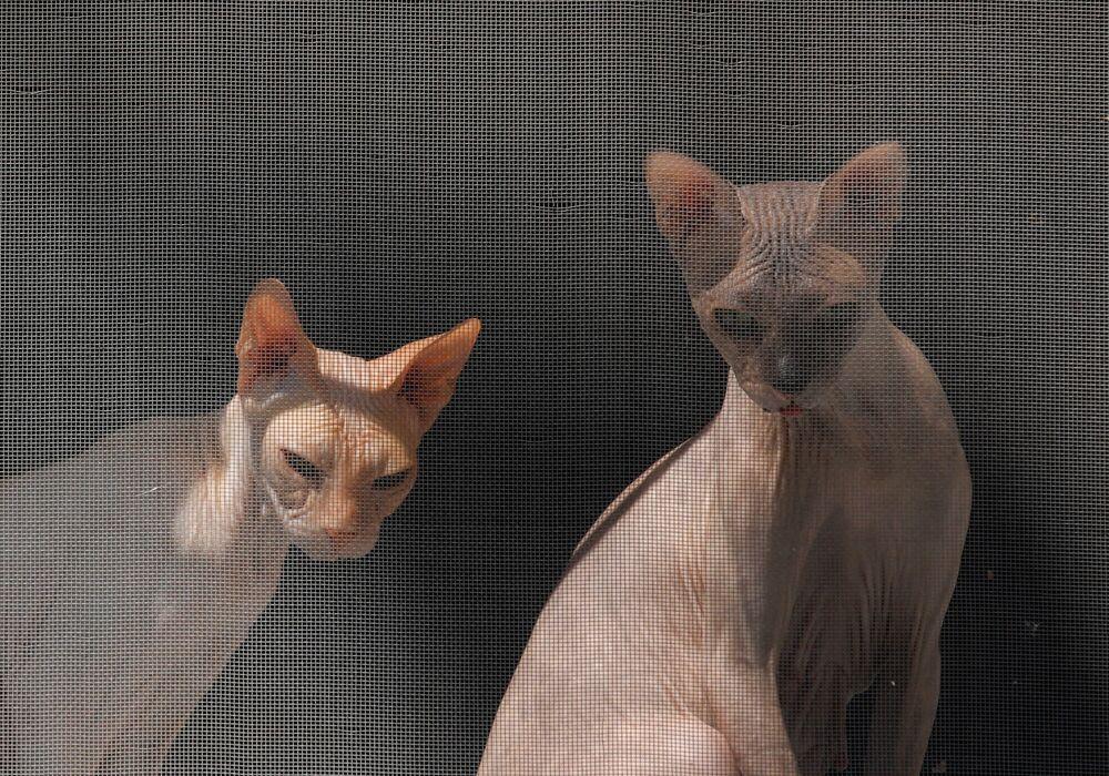 Due gatti Sphynx guardano dalla finestra nella città russa di Essentuki.