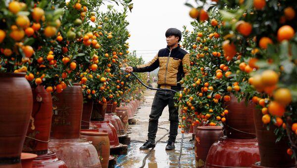 Фермер поливает деревья кумквата во время подготовки к Лунному Новому году, Ханой, Вьетнам - Sputnik Italia