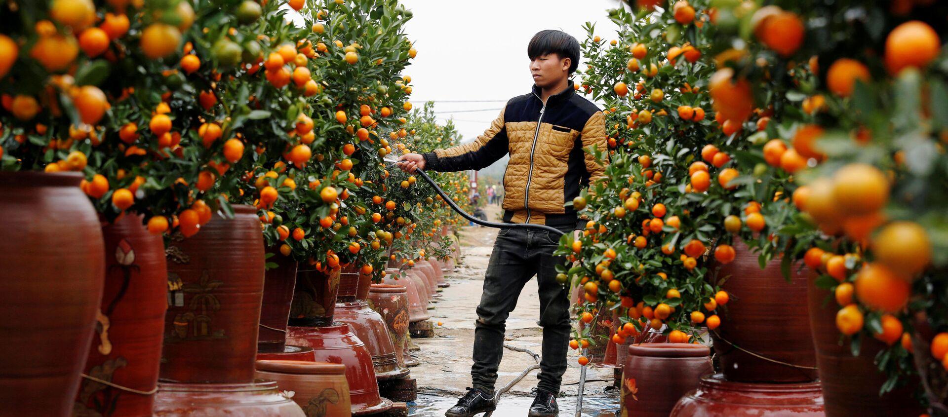 Фермер поливает деревья кумквата во время подготовки к Лунному Новому году, Ханой, Вьетнам - Sputnik Italia, 1920, 16.08.2020