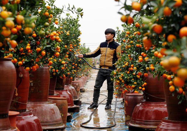 Mandarino cinese (kumquat)