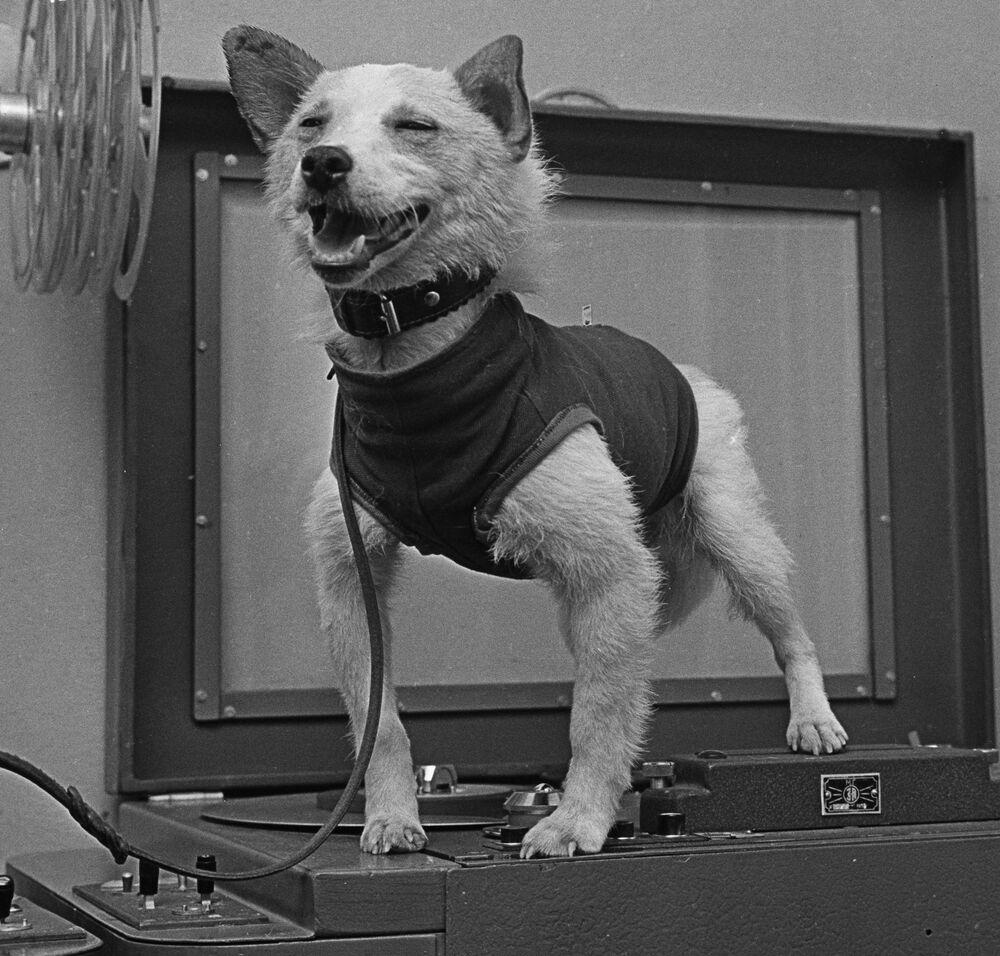 Il cane cosmonauta Belka dopo il ritorno sulla Terra.