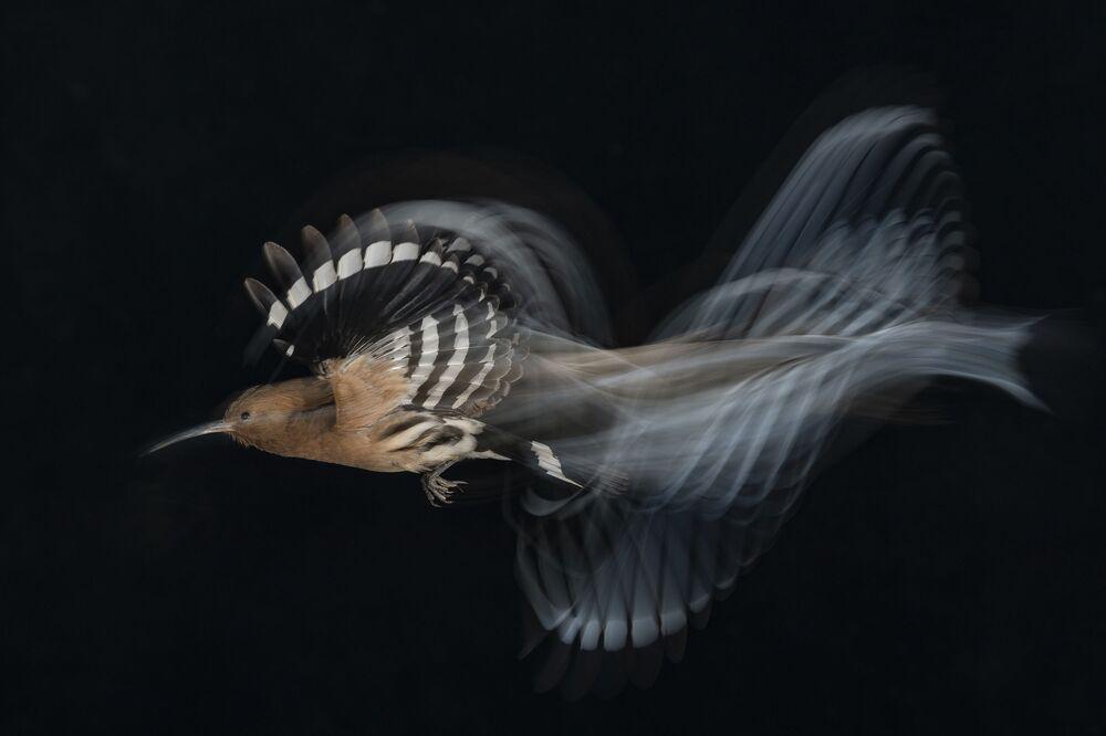 La foto Volo di upupa a velocità bassa di Gadi Shmila (Israele), che ha vinto nella categoria Uccelli in volo.