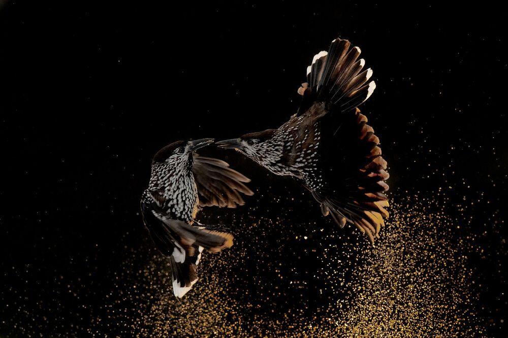 La foto Schiaccianoci che lottano nella neve del fotografo olandese Roelof Molenaar, vincitore nella categoria Comportamenti degli uccelli.