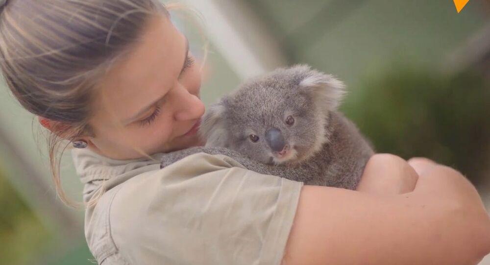 Australia, baby koala al Symbio Wildlife Park