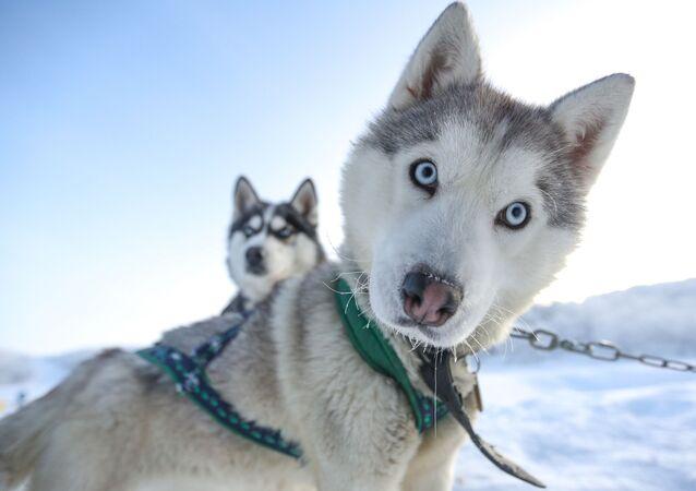 I cani da slitta della razza Siberian Husky nel parco turistico Aurora boreale nella regione di Murmansk, Russia