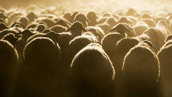 Отара овец близ озера Севан в Армении - Sputnik Italia
