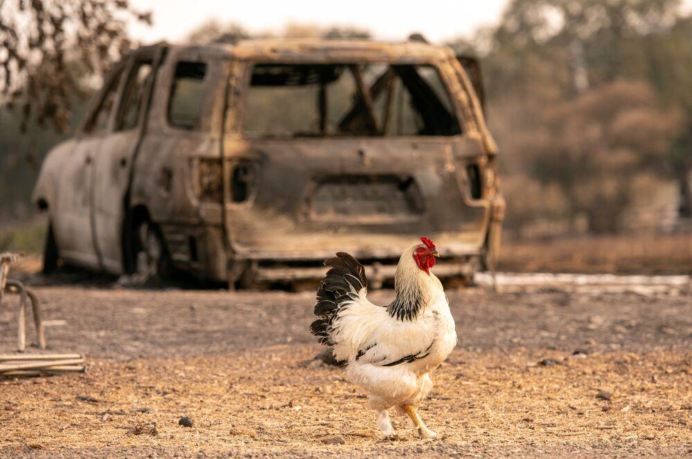 Un gallo cammina davanti a una macchina bruciata a Vacaville, in California.