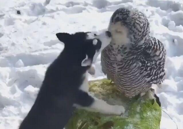L'amicizia incredibile fra un Husky e un gufo