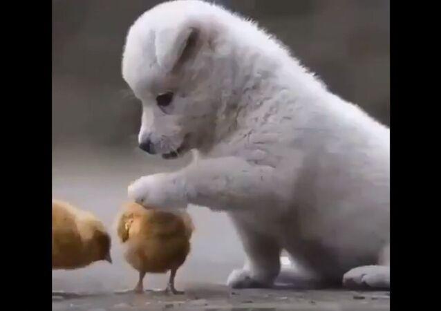 cucciolo di cane e pulcini