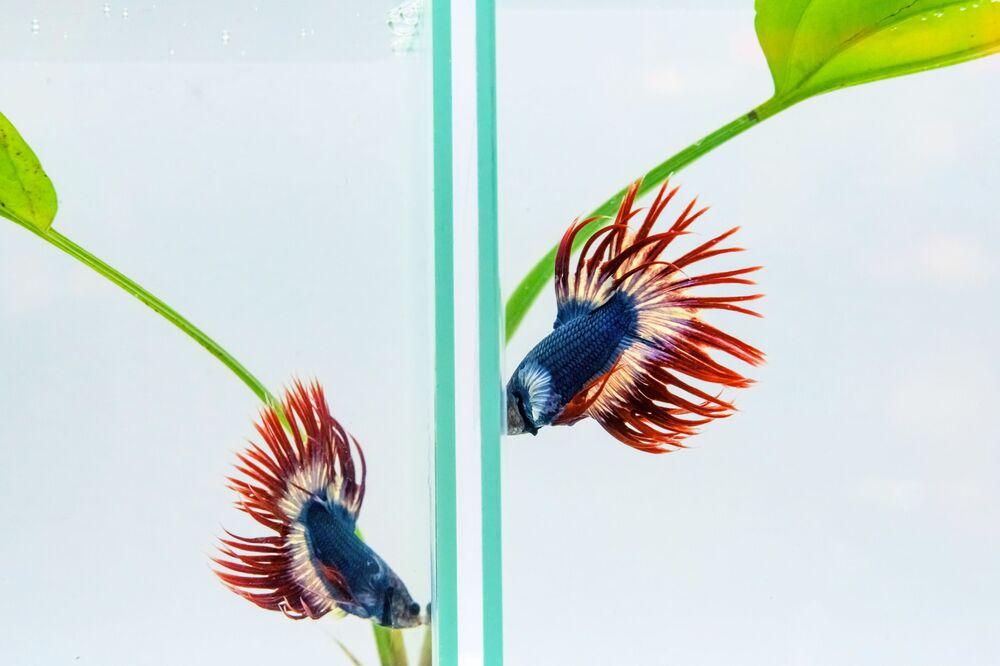 Il nome comune, Siamese Fighting Fish, è stato coniato a causa della pratica di combattimenti organizzati tra i maschi, proprio come i combattimenti di galli.