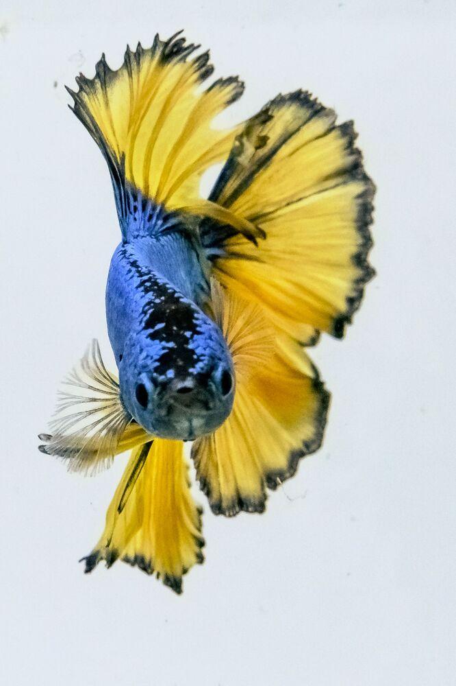 In natura, questa specie non è solitamente colorata.