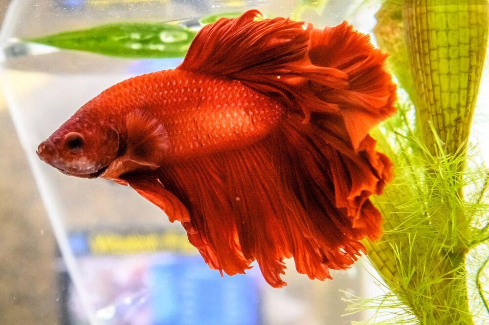 Tuttavia, i programmi di riproduzione in cattività hanno prodotto un'ampia varietà di colori, tra cui bianco, giallo, arancione, rosso, rosa, blu, verde, turchese, marrone e nero.