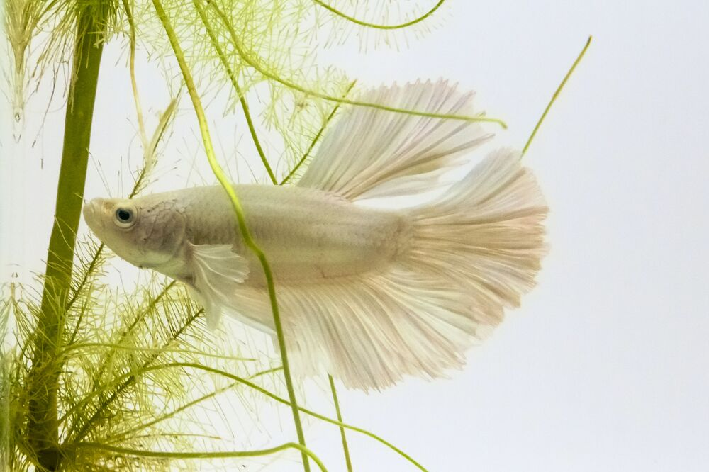 Gli adulti maturi raggiungono una dimensione di due o tre pollici, con le femmine leggermente più piccole dei maschi.