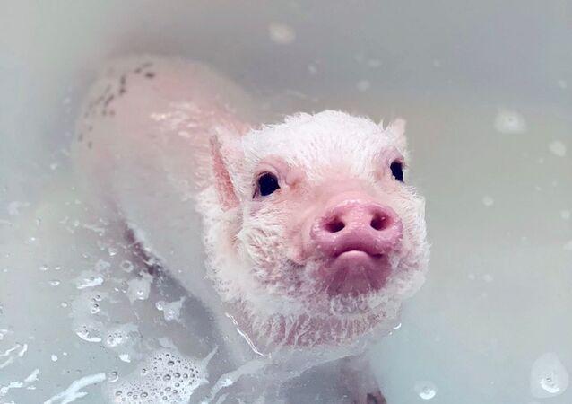 Star del web: un maialino fa il bagno
