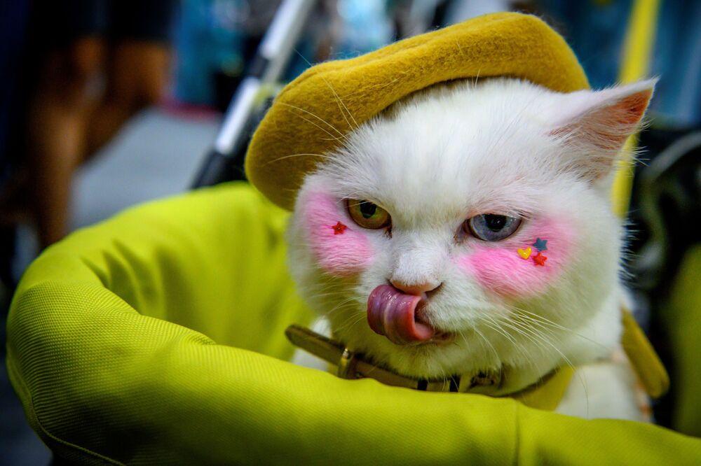 Un gatto al Pet Expo Thailand 2020 a Bangkok, il 5 settembre 2020