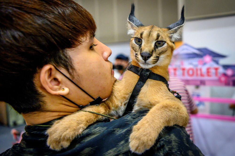 Un visitatore porta il suo caracal sulle spalle durante il Pet Expo Thailand 2020 a Bangkok, il 5 settembre 2020.