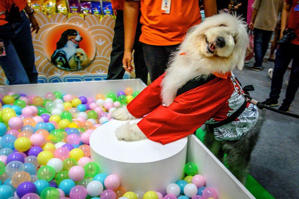 Un cane indossa un abito cinese al Pet Expo Thailand 2020 a Bangkok, il 5 settembre 2020