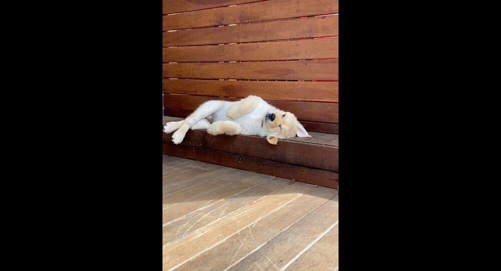 Il cucciolo di Golden Retriever fatica a sentirsi comodo