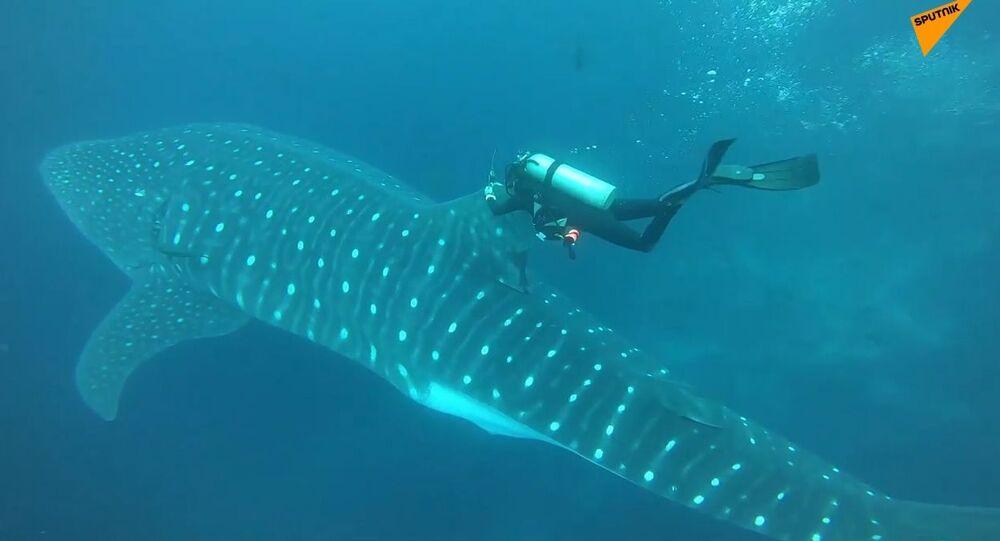 Le Galapagos, ricercatori attaccano dispositivi di trasmissione agli squali balena