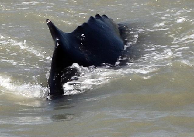 Una balena nell'East Alligator River