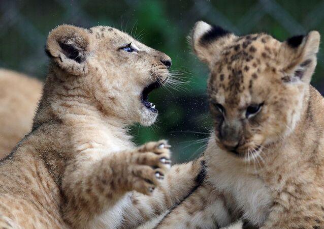 I cuccioli di leone berbero appena nati allo zoo di Dvur Kralove, Repubblica Ceca, il 10 settembre 2020
