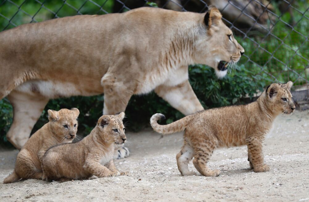 Tre cuccioli di leone berbero sono nati in uno zoo ceco, un'aggiunta ad un piccolo sopravvissuto popolazione di una rara sottospecie di leoni che si è estinta in natura