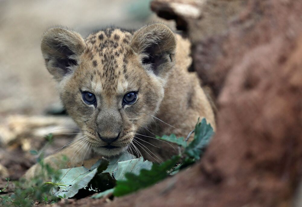 Tre cuccioli che devono ancora essere nominati sono nati il 5 luglio nel parco safari Dvur Kralove nella Repubblica Ceca
