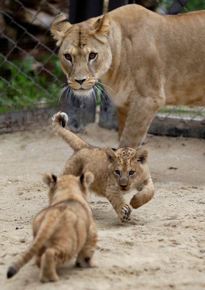 I cuccioli di leone berbero appena nati corrono vicino alla madre Khalila all'interno del loro recinto allo zoo di Dvur Kralove, Repubblica Ceca, il 10 settembre 2020