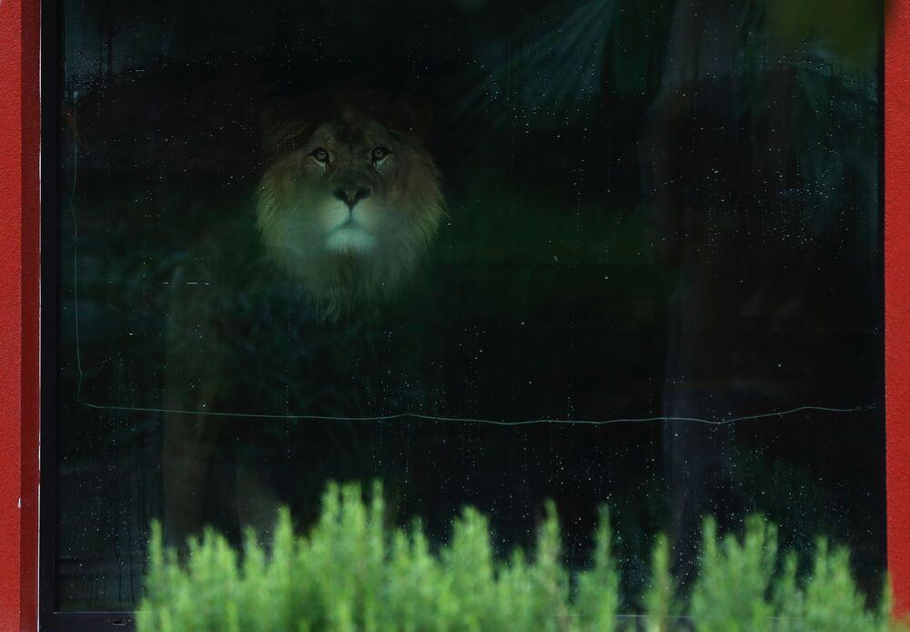 Il leone berbero Napoleone allo zoo di Dvur Kralove, Repubblica Ceca, giovedì 10 settembre 2020