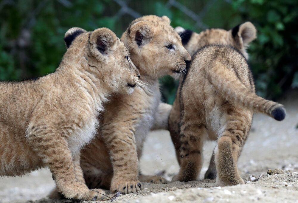 I cuccioli di leone berbero appena nati all'interno del loro recinto allo zoo di Dvur Kralove, Repubblica Ceca, il 10 settembre 2020
