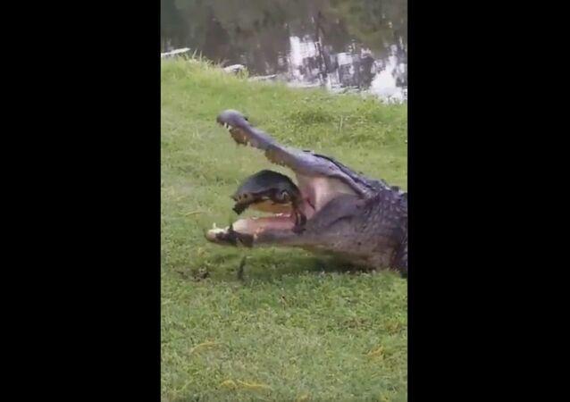 Alligatore mangia tartaruga d'acqua dolce