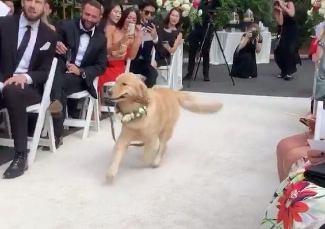 Matrimonio a 4 zampe: scommettiamo che non troverai testimone di sposo meglio che Golden Retriever