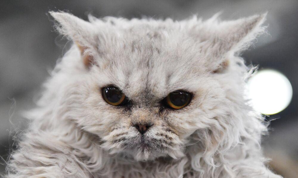 Gatto che aggrotta la fronte