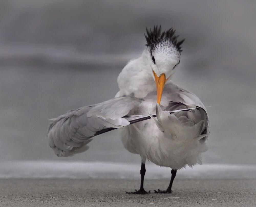 La foto La sterna riordina le sue ali del fotografo Danielle D'Ermo, The Comedy Wildlife Photography Awards  2020
